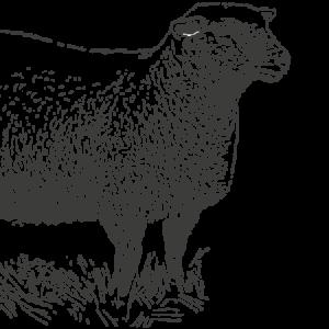 Intro-Illustration-Devon-Closewool-Sheep